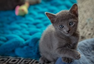 Cats for sale at Royalkittensforsale in Los Angeles, California
