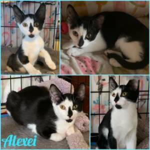 Domestic Short Hair Rescue Cat for Adoption in New York, New York - Alexei
