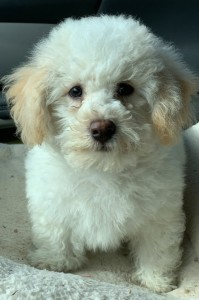 """Miniature Poodle and Shih Poo and Shih Tzu mixed Rescue Dog for Adoption in Spring Grove, Illinois - William The 4 Mo Old Shih Tzu - Poodle (""""ShihPoo"""")"""