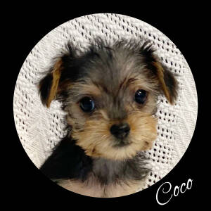Yorkshire Terrier and Chihuahua mixed Rescue Dog for Adoption in Fredericksburg, Virginia - Coco
