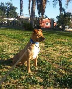 Pit Bull Terrier and Labrador Retriever mixed Rescue Dog for Adoption in Ventura, California - Howie
