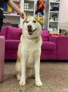 Siberian Husky Rescue Dog for Adoption in New York, New York - Ginger