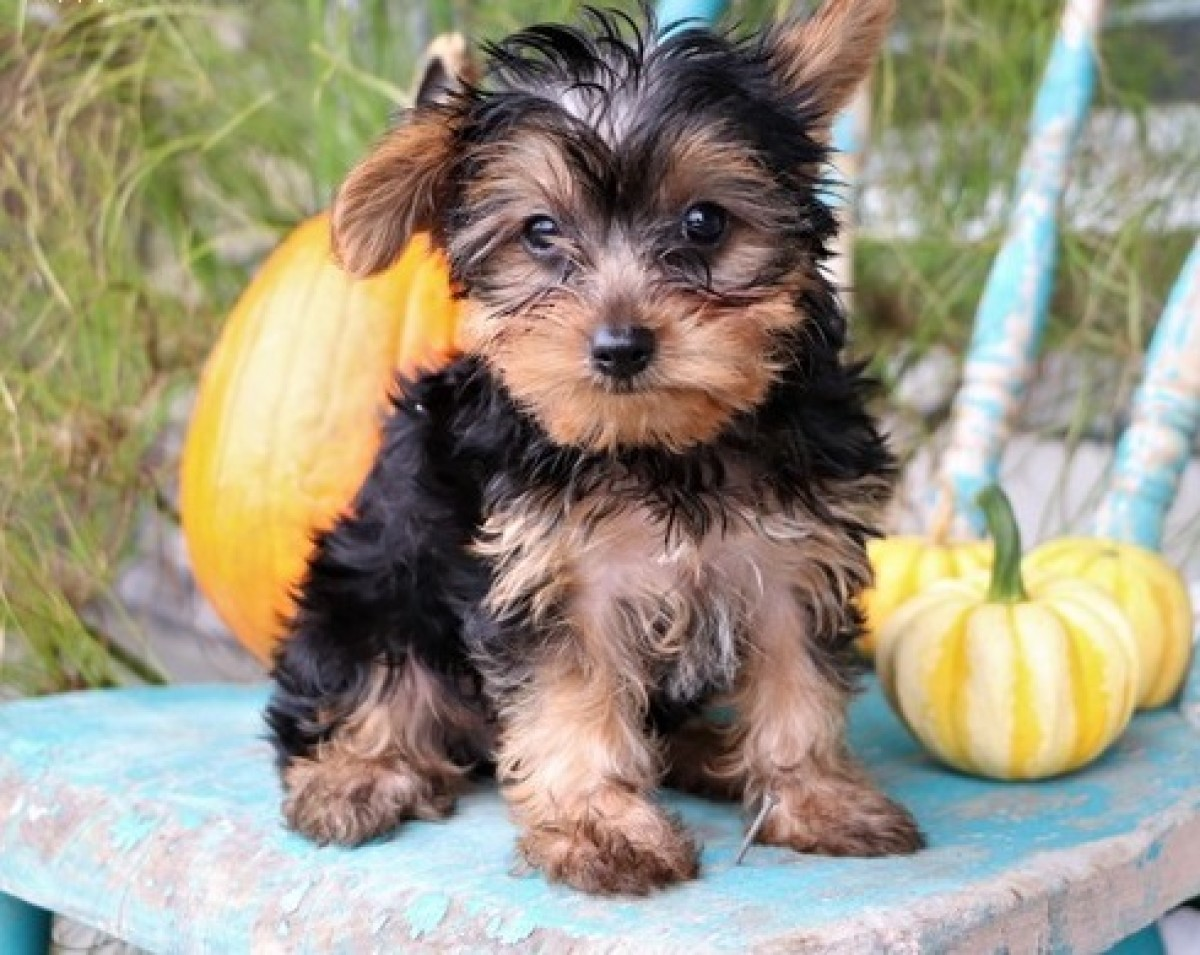 Yorkshire Terrier Dog For Adoption in Pocatello, Idaho - Michael | PetCurious