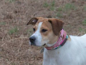 Hound Rescue Dog for Adoption in Chattanooga, Tennessee - Gracie