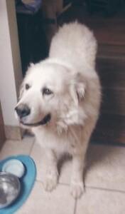 Great Pyrenees Rescue Dog for Adoption in Peyton, Colorado - BACON