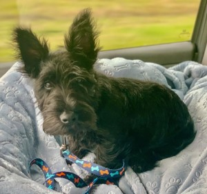 Scottie and Scottish Terrier mixed Rescue Dog for Adoption in Spring Grove, Illinois - Mac The 4-Month Old, 6.5 Pound Scottie Puppy