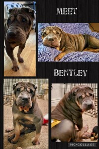 Shar Pei Rescue Dog for Adoption in Twin Falls, Idaho - Bentley
