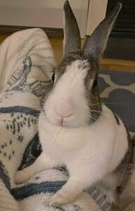 Dutch Rescue Rabbit for Adoption in Madison, Wisconsin - Bailey
