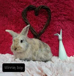 Lionhead and Harlequin mixed Rescue Rabbit for Adoption in Nampa, Idaho - Winnie