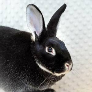 Rex and Bunny Rabbit mixed Rescue Rabbit for Adoption in Shelley, Idaho - Lance